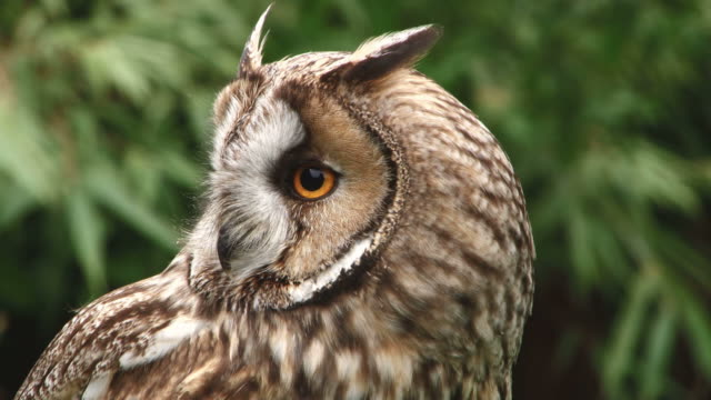 long-eared owl - head stock videos & royalty-free footage