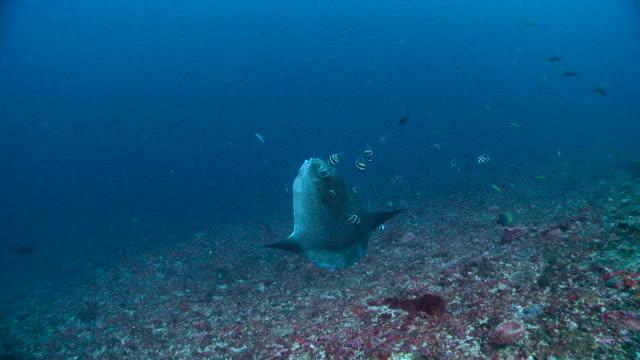 longfin bannerfish clean ocean sunfish, bali. - ecosystem stock videos & royalty-free footage