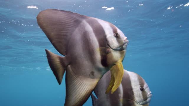 Longfin Spadefish / Tall-fin Batfish