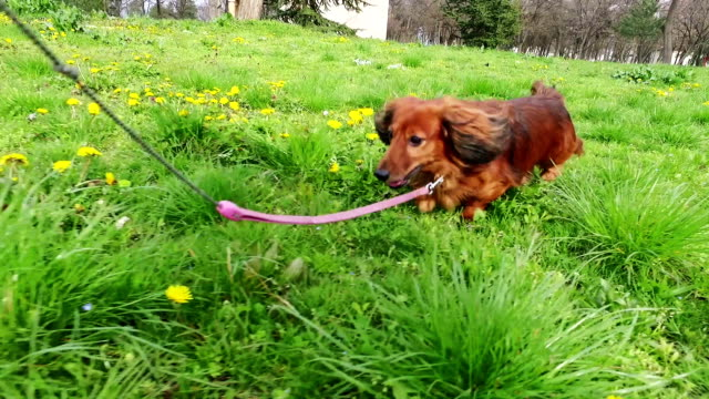 long-haired dachshund in the park. - lead stock videos & royalty-free footage
