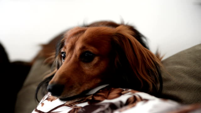 long-haired dachshund - small stock videos & royalty-free footage