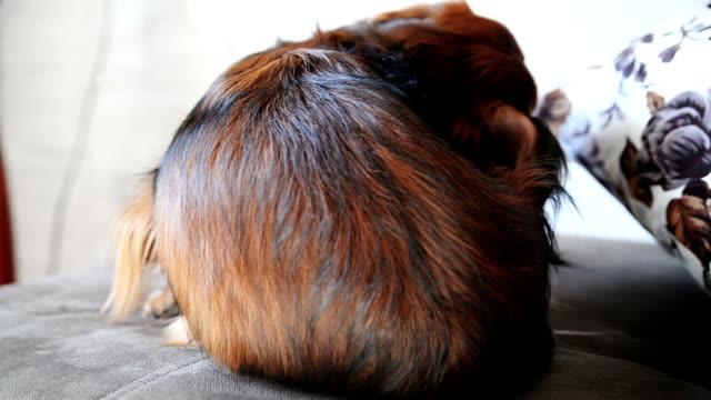 Long-haired Dachshund