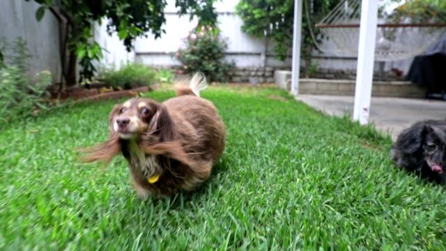 langhaarige dachshunds laufen im yard - lang stock-videos und b-roll-filmmaterial