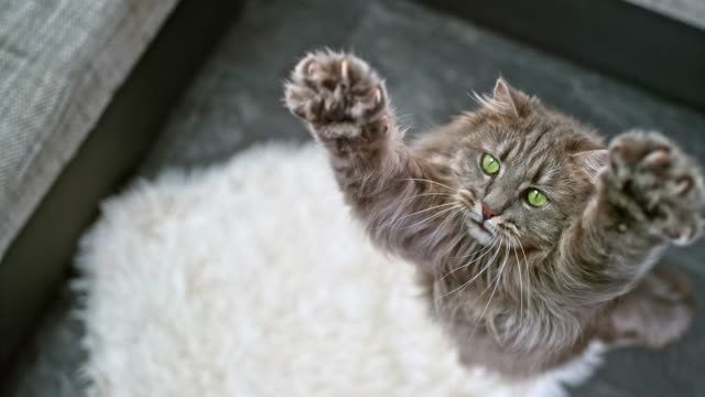 slo mo long-haired domestic cat extending its paws to catch the toy in the air - image focus technique stock videos & royalty-free footage
