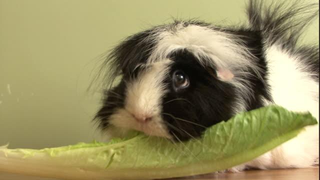 vídeos de stock e filmes b-roll de a long-haired pet guinea pig munches on a leaf of lettuce. - alface