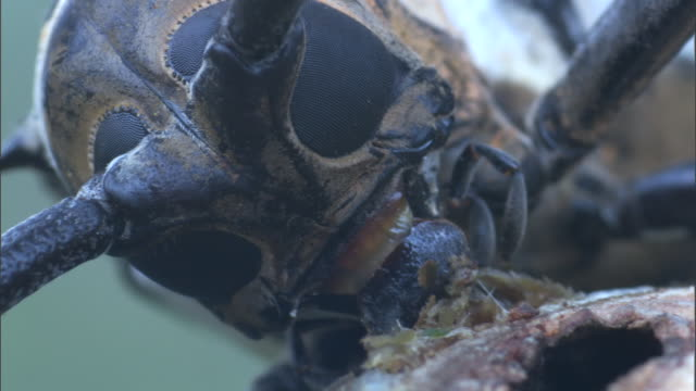 vídeos y material grabado en eventos de stock de longhorn beetle (lamiinae) chews into branch in rainforest, madang, papua new guinea - escarabajo de cuerno largo