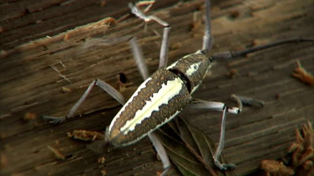 vídeos y material grabado en eventos de stock de a longhorn beetle explores a piece of decomposing wood. - escarabajo de cuerno largo