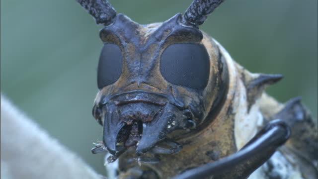 vídeos y material grabado en eventos de stock de longhorn beetle (lamiinae) on branch in rainforest, madang, papua new guinea - escarabajo de cuerno largo