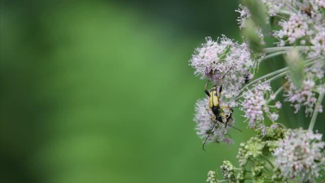 vidéos et rushes de longicorne une fleur haute définition - groupe moyen d'animaux