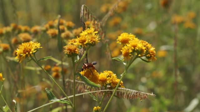 vídeos y material grabado en eventos de stock de longhorn beetle on yellow flowers - escarabajo de cuerno largo