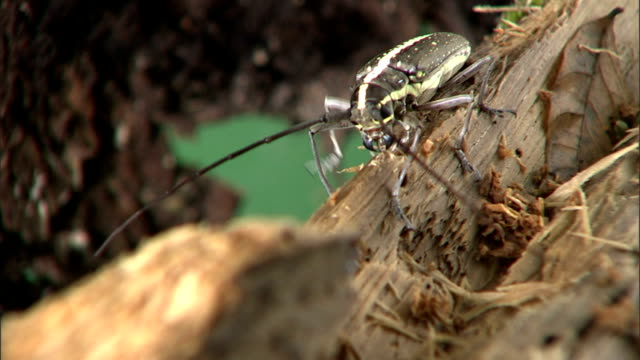 vídeos y material grabado en eventos de stock de a longhorn beetle searches for food as it crawls along a pile of decomposing wood. - escarabajo de cuerno largo
