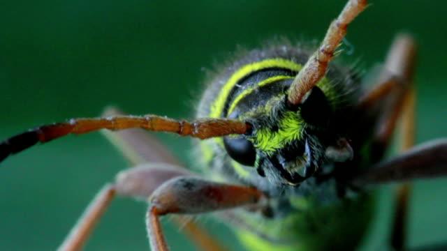 vídeos y material grabado en eventos de stock de escarabajo de cuerno largo - escarabajo de cuerno largo