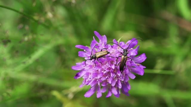 vídeos y material grabado en eventos de stock de longhorn beetles - escarabajo de cuerno largo