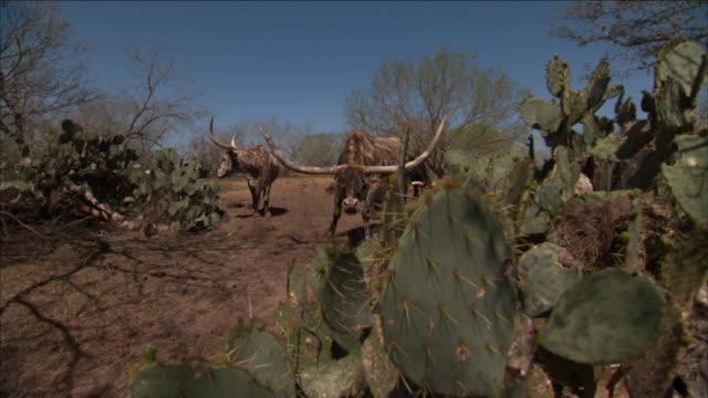 stockvideo's en b-roll-footage met longhorn cattle graze near cacti in dallas, texas. - texas longhorn