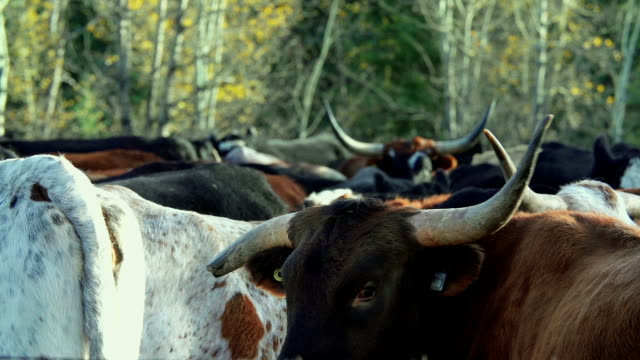 longhorn cattle in a holding pen - cattle drive stock videos & royalty-free footage