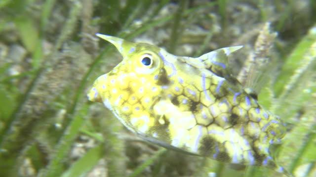 Long-horn Cowfish (Lactoria cornuta) in defensive shape, Southern Visayas, Philippines