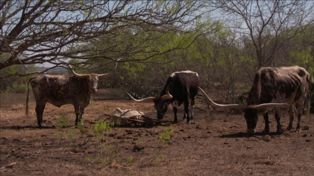 a longhorn sniffs a carcass near its herd. - group of animals stock videos & royalty-free footage