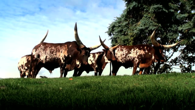 vídeos y material grabado en eventos de stock de longhorn watusi - ann arbor