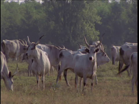 stockvideo's en b-roll-footage met long-horned hungarian grey cattle graze in a meadow. - traditionally hungarian