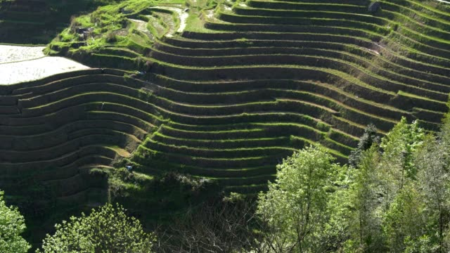 longji terraced fields in longsheng,guilin,china - bamboo plant stock videos and b-roll footage
