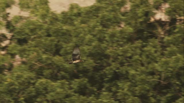 ha longlegged buzzard flying away from camera over open ground  - 翼を広げる点の映像素材/bロール