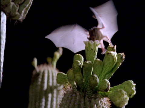 vídeos de stock, filmes e b-roll de long-nosed bat (choeronycteris mexicana) visits saguaro cactus flowers in sonoran desert, arizona, usa - polinização