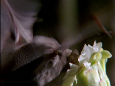 long-nosed bat (choeronycteris mexicana) visits saguaro cactus flowers in sonoran desert, arizona, usa - pollination stock videos & royalty-free footage