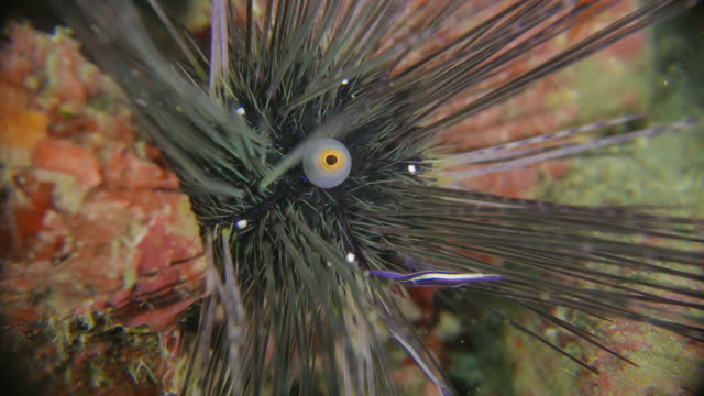 long-spined sea urchin, urchin shrimp, symbiotic undersea (4k) - reef stock videos & royalty-free footage