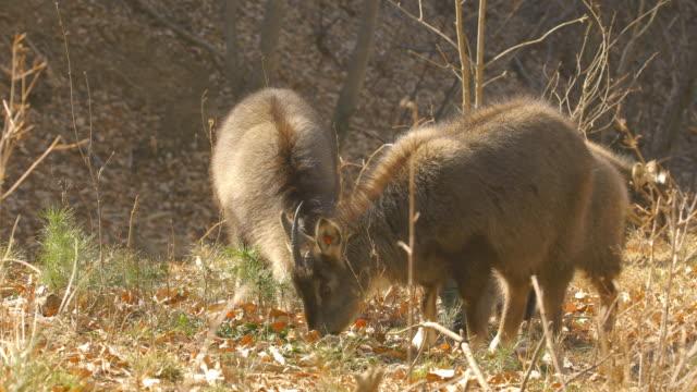 long-tailed goral / yanggu-gun, gangwon-do, south korea - hay texture stock videos & royalty-free footage