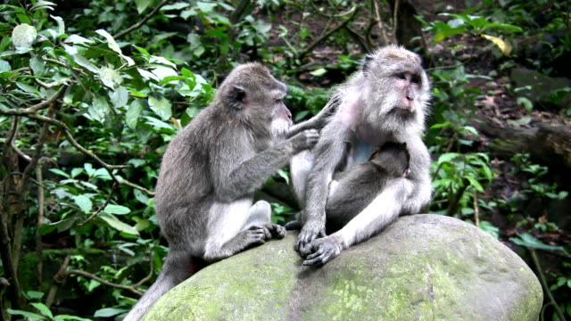 Long-tailed macaques with young