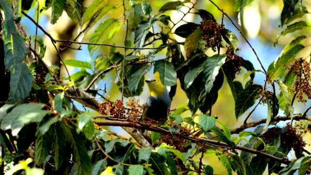 long-tailed silky-flycatcher in costa rica - central america stock videos & royalty-free footage