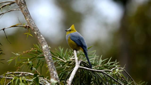 Long-tailed silky-flycatcher, Ptiliogonys caudatus perching