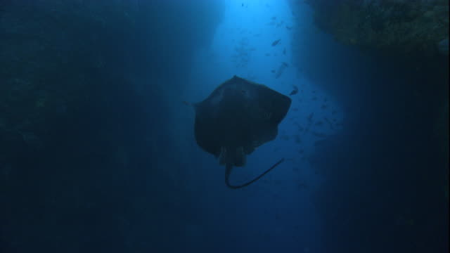 a long-tailed stingray swims toward an underwater crevice. available in hd. - stingray stock videos and b-roll footage