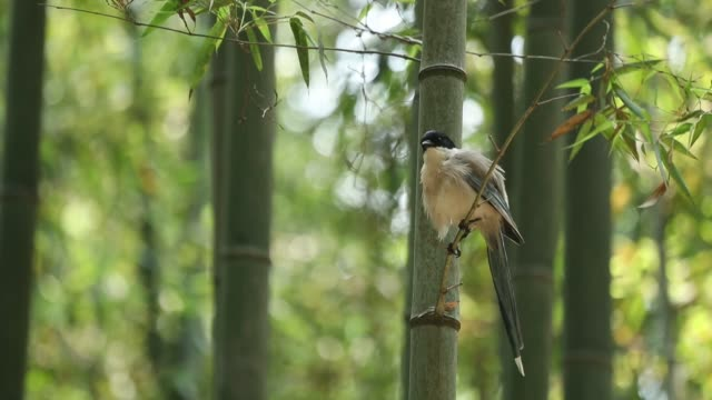 a long-tailed tit at juknokwon (bamboo grove in damyang, south korea) - damyang stock videos & royalty-free footage