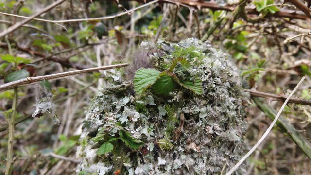 long-tailed tit tending to its nest, which is constructed of lichen and moss woven together with spider web, and stuffed with feathers . credit line:... - animal behaviour stock videos & royalty-free footage