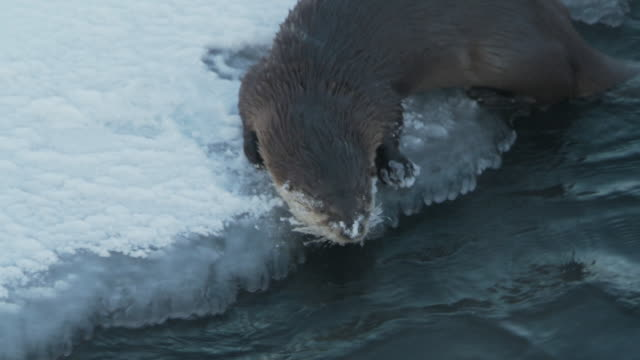 ms pan lontra on icey edge of river rubs his face in snow then goes ino water / yellowstone national park, montana and wyoming, united states - otter stock-videos und b-roll-filmmaterial
