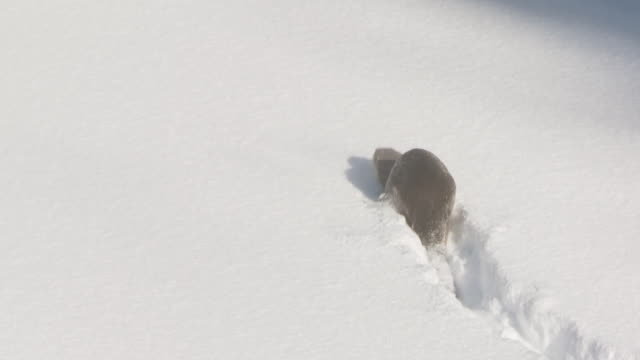 ms pan lontra running on snowy ice / yellowstone national park, montana and wyoming, united states - otter stock videos and b-roll footage
