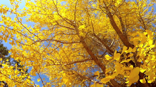 um den bunten blätter - 4 k - ginkgobaum stock-videos und b-roll-filmmaterial