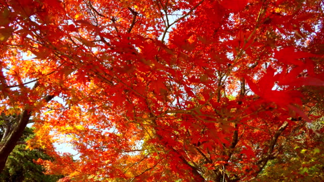 look around colored leaves -4k- - satoyama scenery stock videos & royalty-free footage