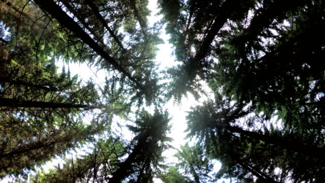 look up at pine forest - looking up stock videos & royalty-free footage