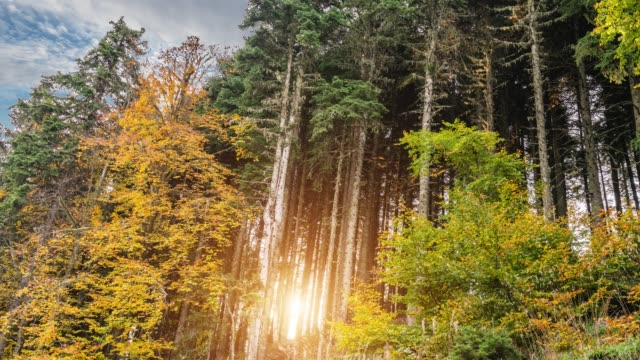 look up in a dense pine forest in autumn - staring stock videos & royalty-free footage