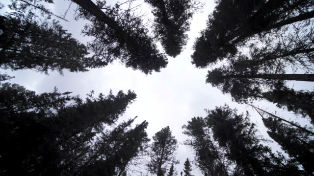 look up pine forest - bark stock videos & royalty-free footage