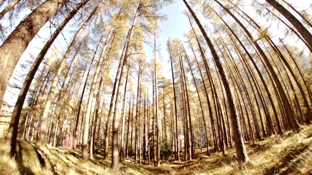 looking around a larch forest - mgost stock videos and b-roll footage