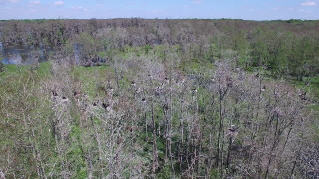 Looking at brids in nest in swamp - Drone Aerial 4K Everglades, Swamp bayou with wildlife alligator nesting Ibis, Anhinga, Cormorant, Snowy Egret, Spoonbill, Blue Heron, eagle, hawk, cypress tree 4K Nature/Wildlife/Weather Drone Aerial Video