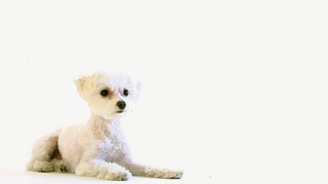 Looking Dog