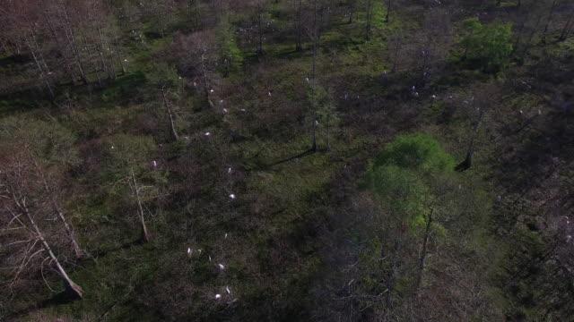 looking down at a 45deg on birds nesting - drone aerial 4k everglades, swamp bayou with wildlife alligator nesting ibis, anhinga, cormorant, snowy egret, spoonbill, blue heron, eagle, hawk, cypress 4k nature/wildlife/weather drone aerial video - bayou lafourche stock-videos und b-roll-filmmaterial