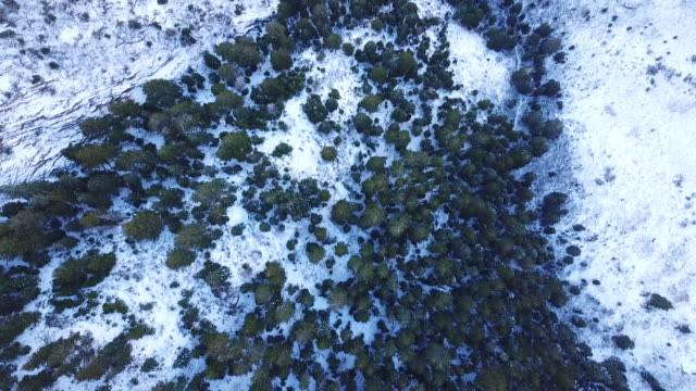 Looking down at pine forest