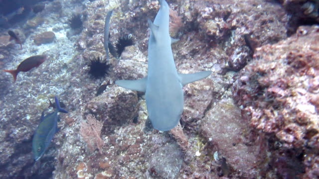 looking down on a galapagos shark as it swims past, cocos island, costa rica. - galapagos shark stock videos & royalty-free footage