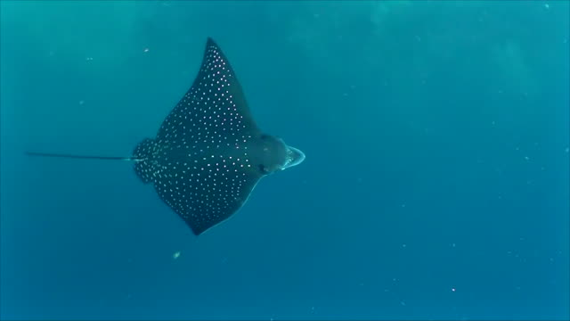 Looking down on a spotted eagle ray as it gracefully swims over the reef, Darwin Island, Galapagos Islands, Ecuador.