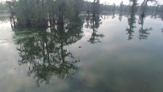 looking down on alligator in swamp - drone aerial 4k everglades, swamp bayou with wildlife alligator nesting ibis, anhinga, cormorant, snowy egret, spoonbill, blue heron, eagle, hawk, cypress tree 4k nature/wildlife/weather - bayou lafourche stock-videos und b-roll-filmmaterial